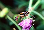 Conpid fly, Crete