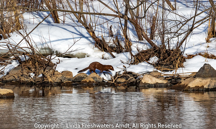 American mink looking for food along the shoreline of the Chippewa River.