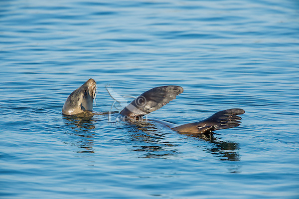 California sea lion (Zalophus californianus).  Central California Coast.  Sea lions will sometimes hold a flipper or two out of the water in order to regulate their body temperature.