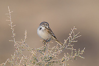 578830011 a wild sage sparrow amphispiza belli nevadensis perches on a sagebrush plant stem in kern county  california