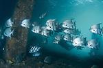 Spadefish, Atlantic Spadefish, Chaetodipterus faber under the Bridge