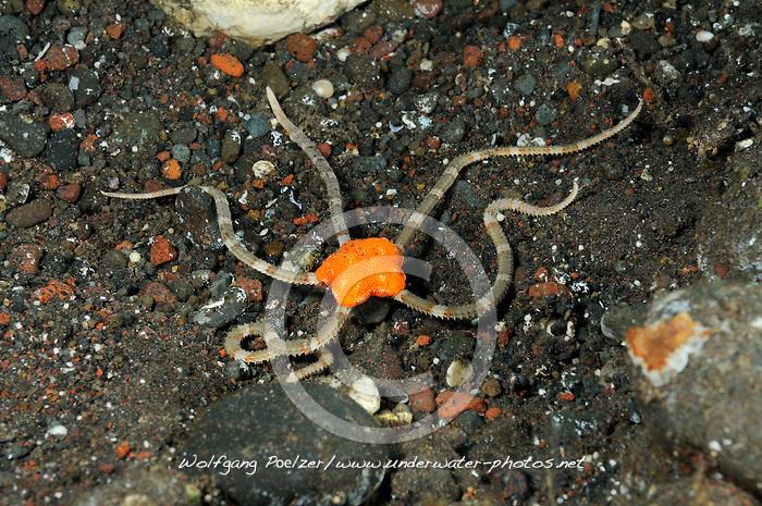Ophiuroida, Ophiuroidea, Oranger Schlangenstern, orange Brittle Star, Bali, Indonesien, Indopazifik, Bali, Indonesia Asien, Indo-Pacific Ocean, Asia