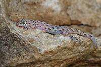 The House Gecko, scientific name Hemidactylus frenatus, is a native of southeastern Asia. AKA the Pacific house gecko, Asian house gecko, or house lizard.