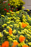 Yellow flower perennial Sulfur Buckwheat - Eriogonum umbellatum in Kyte California native plant garden with orange poppies