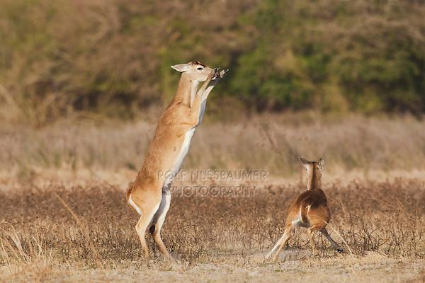 White-tailed Deer (Odocoileus virginianus), adults fighting, Sinton, Corpus Christi, Coastal Bend, Texas, USA