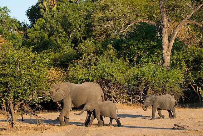 African elephant with babies in Liwonde National Park, Malawi.
