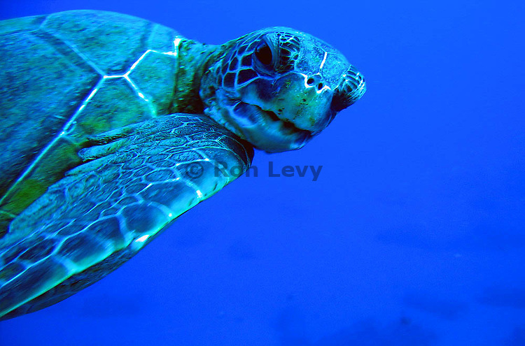 Green sea turtle upclose, Maui, Hawaii