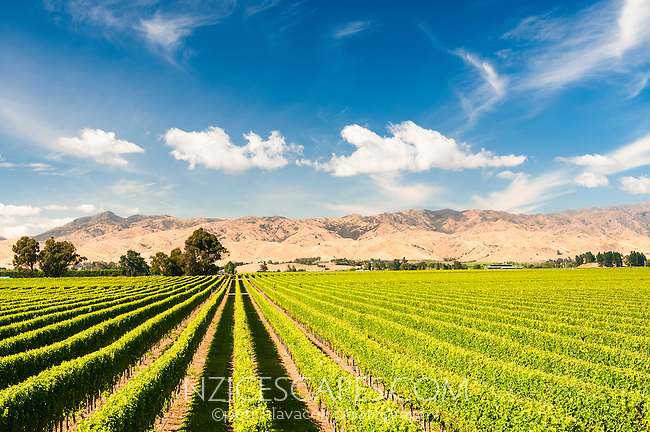 Vineyard near Blenheim, Marlborough Region, South Island, New Zealand