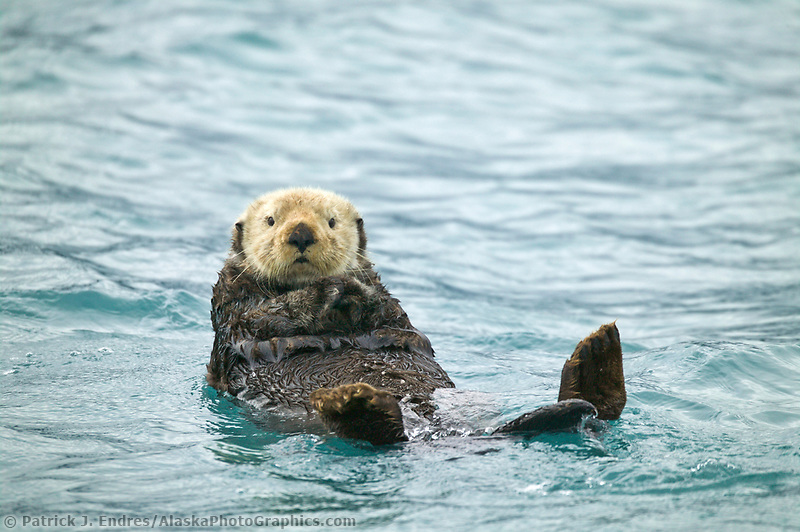 Sea otter, Port Wells, Prince William Sound, Alaska