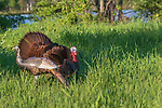 Tom turkey checking out an inflatable hen decoy.