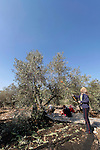 Israel, the Lower Galilee. Olive picking in Wadi Zippori