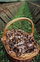 """Europe/France/Bretagne/29/Finistère/Cap Sizun: Ferme hélicole """"Cap Hélix"""" - Escargots"""