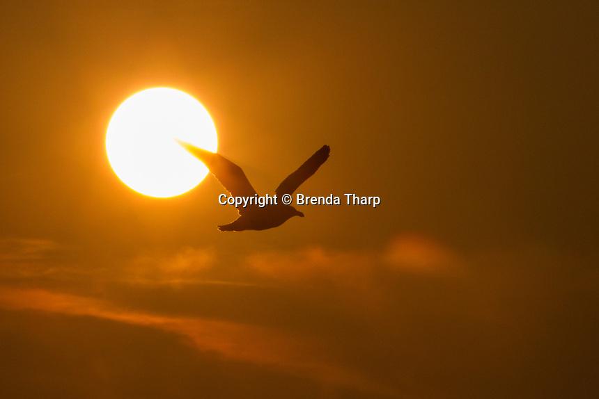 USA, Washington. A sea gull flying in front of a setting sun in San Juan Islands.