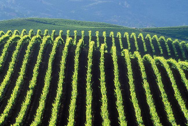 Vineyard in Pope Valley, a region in Napa Valley