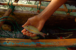 Little reef fish in the hand of a child on a outrigger canoe in the village of Hessessai Bay at PanaTinai (Panatinane)island in the Louisiade Archipelago in Milne Bay Province, Papua New Guinea.  The island has an area of 78 km2..The Louisiade Archipelago is a string of ten larger volcanic islands frequently fringed by coral reefs, and 90 smaller coral islands located 200 km southeast of New Guinea, stretching over more than 160 km and spread over an ocean area of 26,000 km? between the Solomon Sea to the north and the Coral Sea to the south. The aggregate land area of the islands is about 1,790 km? (690 square miles), with Vanatinai (formerly Sudest or Tagula as named by European claimants on Western maps) being the largest..Sideia Island and Basilaki Island lie closest to New Guinea, while Misima, Vanatinai, and Rossel islands lie further east..The archipelago is divided into the Local Level Government (LLG) areas Louisiade Rural (western part, with Misima), and Yaleyamba (western part, with Rossell and Tagula islands. The LLG areas are part of Samarai-Murua District district of Milne Bay. The seat of the Louisiade Rural LLG is Bwagaoia on Misima Island, the population center of the archipelago.PanaTinai (Panatinane) is an island in the Louisiade Archipelago in Milne Bay Province, Papua New Guinea. The island has an area of 78 km2..The Louisiade Archipelago is a string of ten larger volcanic islands frequently fringed by coral reefs, and 90 smaller coral islands located 200 km southeast of New Guinea, stretching over more than 160 km and spread over an ocean area of 26,000 km? between the Solomon Sea to the north and the Coral Sea to the south. The aggregate land area of the islands is about 1,790 km? (690 square miles), with Vanatinai (formerly Sudest or Tagula as named by European claimants on Western maps) being the largest..Sideia Island and Basilaki Island lie closest to New Guinea, while Misima, Vanatinai, and Rossel islands lie further east..The archipelago
