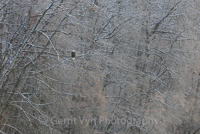 Bald Eagle (Haliaeetus leucocephalus) perched in riverside cottonwoods. Southeast, Alaska. December.