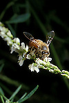 Honey bee feeding