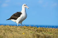 Laysan Albatross (Phoebastria immutabilis). Oahu, Hawaii. January.