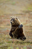 Grizzly Bear scratching his leg.  Alaskan tundra.
