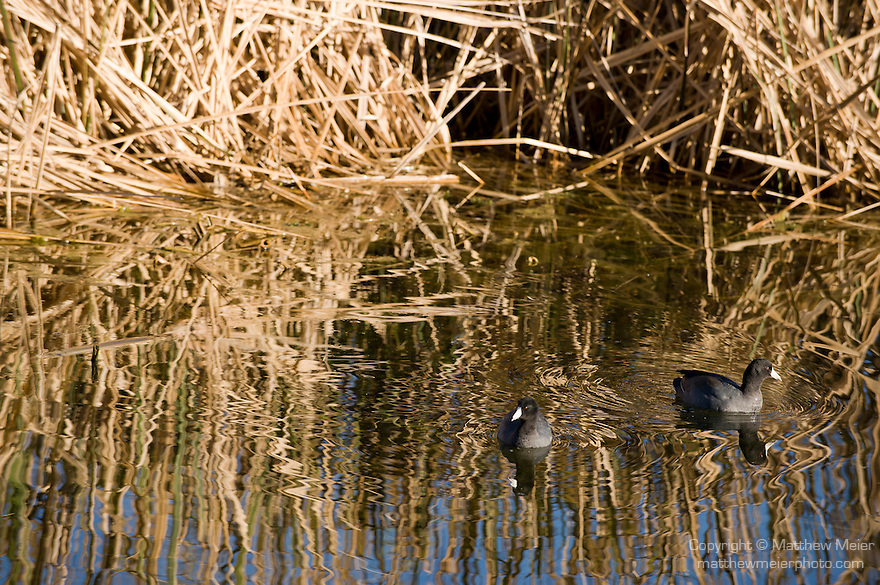 Columbia Ranch, Brazoria County, Damon, Texas; a pair of American Coot (Fulica americana) birds swimming on the water's surface of the slough near the edge of the reeds in afternoon sunlight