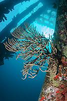 Scattered pore rope sponge, Aplysina fulva, Salt Pier, Bonaire, Caribbean Netherlands, Caribbean