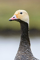 Emperor Goose (Chen canagica) head portrait in the rain. Yukon Delta, Alaska. June.