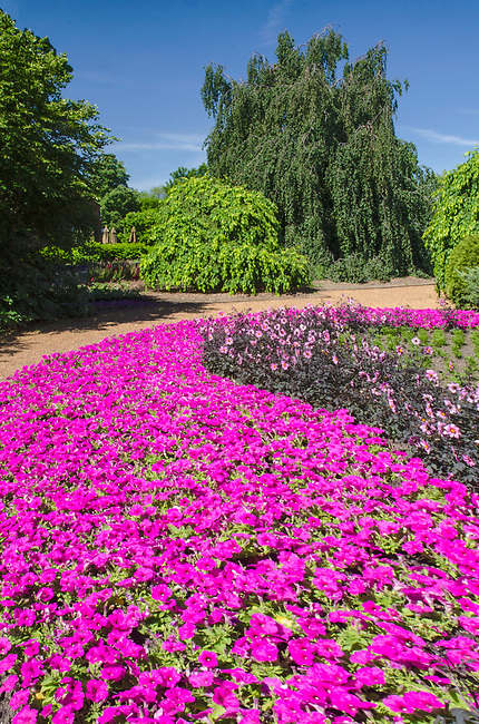 A huge bed of pink petunias make a sweeping statement of color at Cantigny Gardens at the Cantigny Park estate of the late Colonel Robert McCormick in DuPage County, Illinois