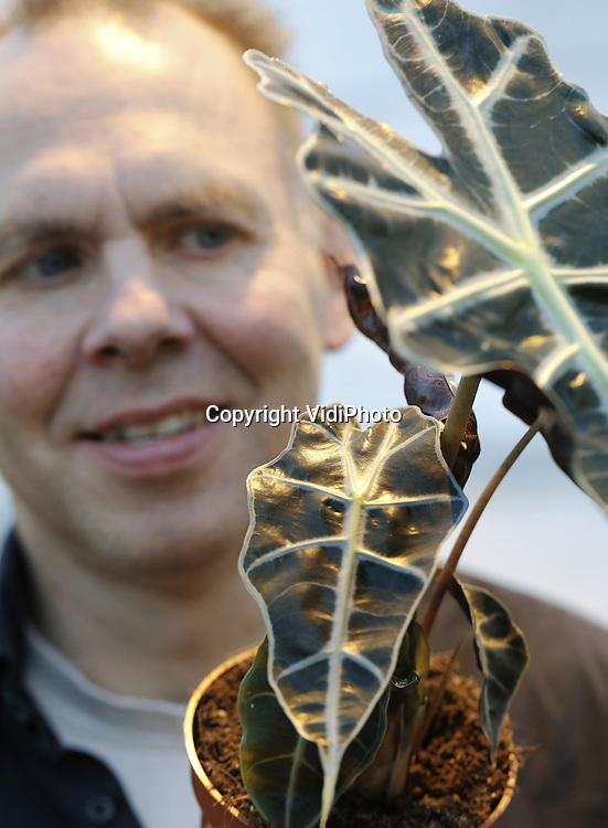 Foto: VidiPhoto<br /> <br /> LANGEWEG - Het is een wonderlijk gevormde plant, waarvan het donkere puntige blad naar beneden wijst en de nerven veel weg hebben van een geraamte. Een aandachtstrekker, dat is de Alocasia. En dat voor een groenblijver... En toch zit de lastig te kweken -vocht is belangrijk- potplant wat in een dip, vertellen Leon en Niels de Groot van Kwekerij De Groot BV uit het Brabantse Langeweg. Dat geldt overigens niet voor de meeste groene planten. Na jarenlange malaise gaat het de laatste jaren beter. Samen met neven Joost en Niels (foto) runt Leon het 11,4 ha. grote bedrijf (drie locaties) van perk- en potplanten (39 soorten en 220 items). Jaarrond worden er zo'n 8,5 miljoen planten afgezet. Daarvan vormt de Alocasia een relatief klein deel: zo'n 500.000 stuks. De meeste groene planten moeten het hebben van de winterperiode (kerstboom er uit, plant er in), zo ook de ietwat exclusieve Alocasia, die 's winters in zo'n 20 weken wordt opgekweekt en in de zomer tussen de 10 en 12 weken.