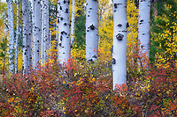 Aspen trees and fall color. Near Black Butte Ranch, Oregon