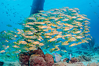 schooling smallmouth grunts, Haemulon chrysargyreum, Salt Pier, Bonaire, ABC Islands, Netherlands, Caribbean Sea, Atlantic Ocean