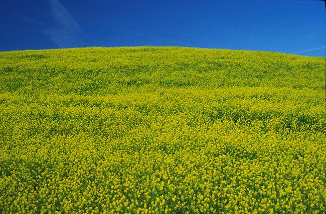 Mustard on fallow vineyard