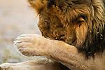 African Lion (Panthera leo) male scratching head, Nkasa Rupara National Park, Namibia