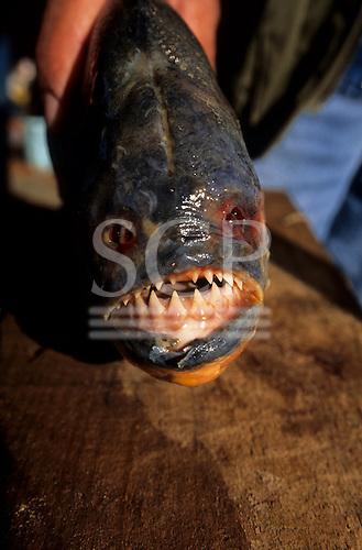 Pantanal, Mato Grosso, Brazil. Large Piranha fish with sharp teeth.