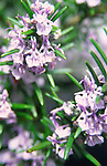 AF5GX9 Rosemary in flower Rosmarinus officinalis