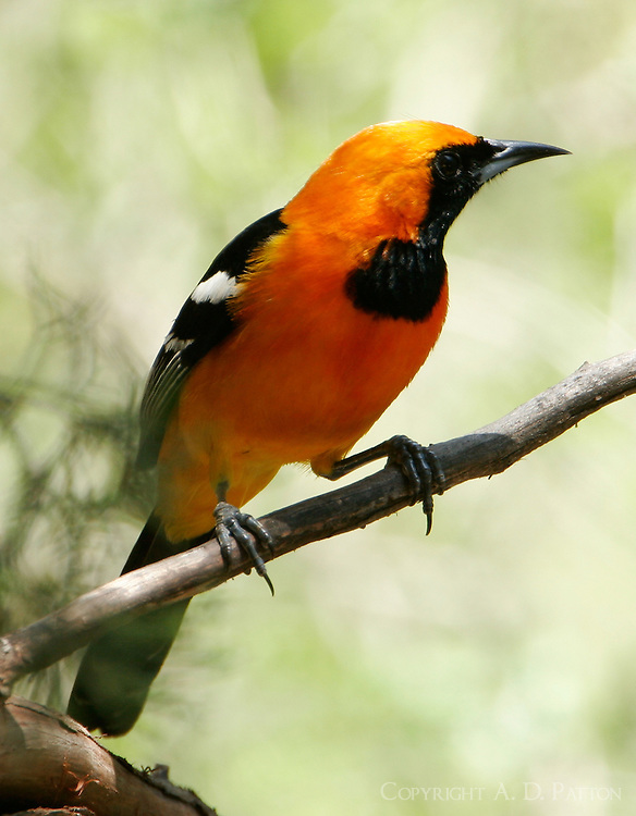 Adult male hooded oriole on branch