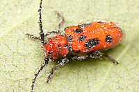 Red Milkweed Beetle (Tetraopes tetrophthalmus) covered with early morning dew, Ward Pound Ridge Reservation, Cross River, Westchester County, New York
