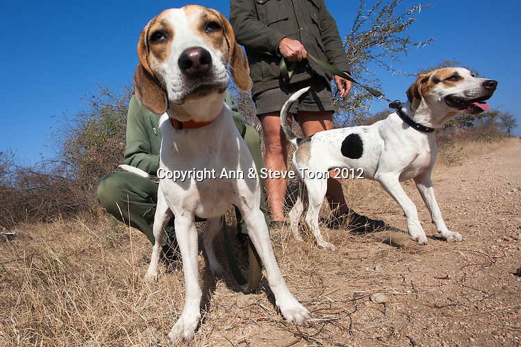 Fox hounds Chico and Jetta used in Kruger anti-poaching patrols to track down poachers, , Kruger National Park, South Africa, June 2012