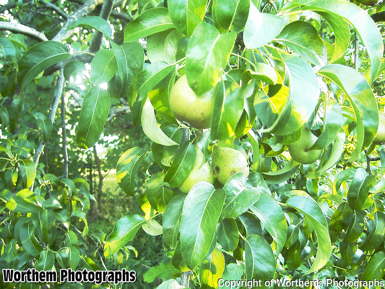 A closer look at more pears going in a backyard.