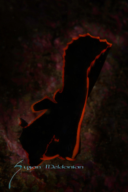 Batfish, Platax pinnatus