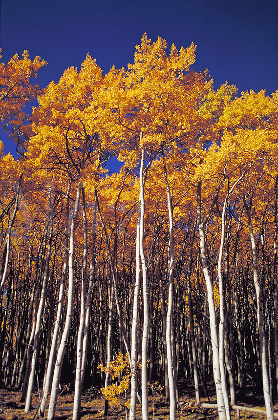 Bright yellow colored fall aspen trees against a blue sky. Fall foliage, autumn leaves, white trunks, fall forest, aspen forest, western fall, rocky mountains , white tree trunks, treetrunk. Utah, Wasatch mountains.