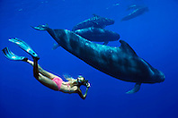 snorkeler and short-finned pilot whales, Globicephala macrorhynchus, off Kona Coast, Big Island, Hawaii, Pacific Ocean