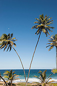 Arembepe, Bahia State, Brazil. Palm trees at the beach.