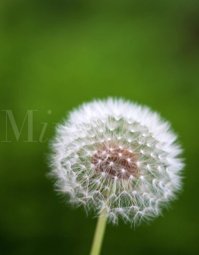 dandelion flower, parachute ball against green backdrop