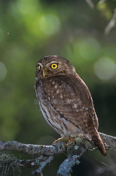Ferruginous Pygmy-Owl, Glaucidium brasilianum, adult, Willacy County, Rio Grande Valley, Texas, USA