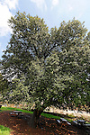The Golan Heights, Kermes oak (Quercus calliprinos) in Nabi Hazuri