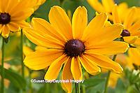 63821-204.11 Indian Summer Black-eyed Susan (Rudbeckia hirta 'Indian Summer') Marion Co. IL