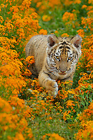 Bengal tiger (Panthera tigris) cub, Endangered Species