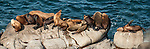 La Jolla Cove, La Jolla, California; a panoramic view of California Sea Lions (Zalophus californianus) on the rocky shoreline at La Jolla Cove