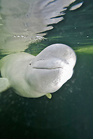 beluga whale, Delphinapterus leucas, in the White Sea, Russia. Captive at an ice diving station.