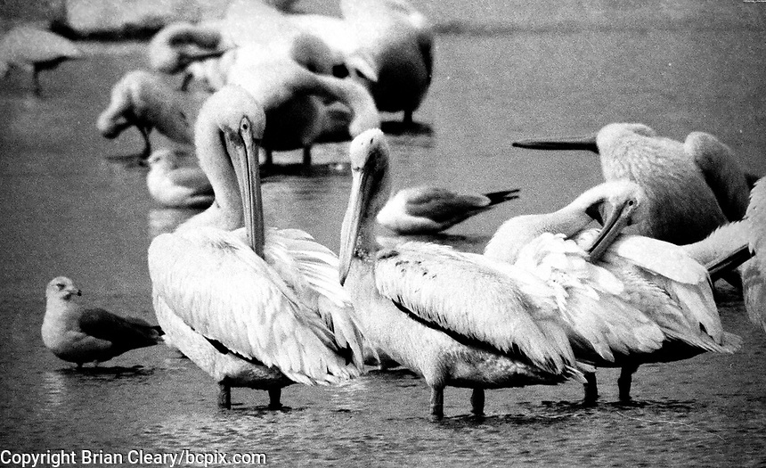 White Pelicans, Photographed on TMAX 3200 black and white film, Merritt Island, Florida, 1995, (Photo by Brian Cleary/bcpix.com)